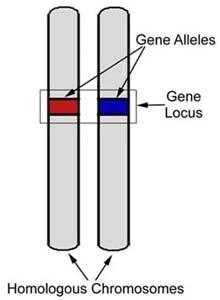 genelocus